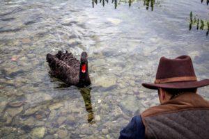 Black Swan approaching