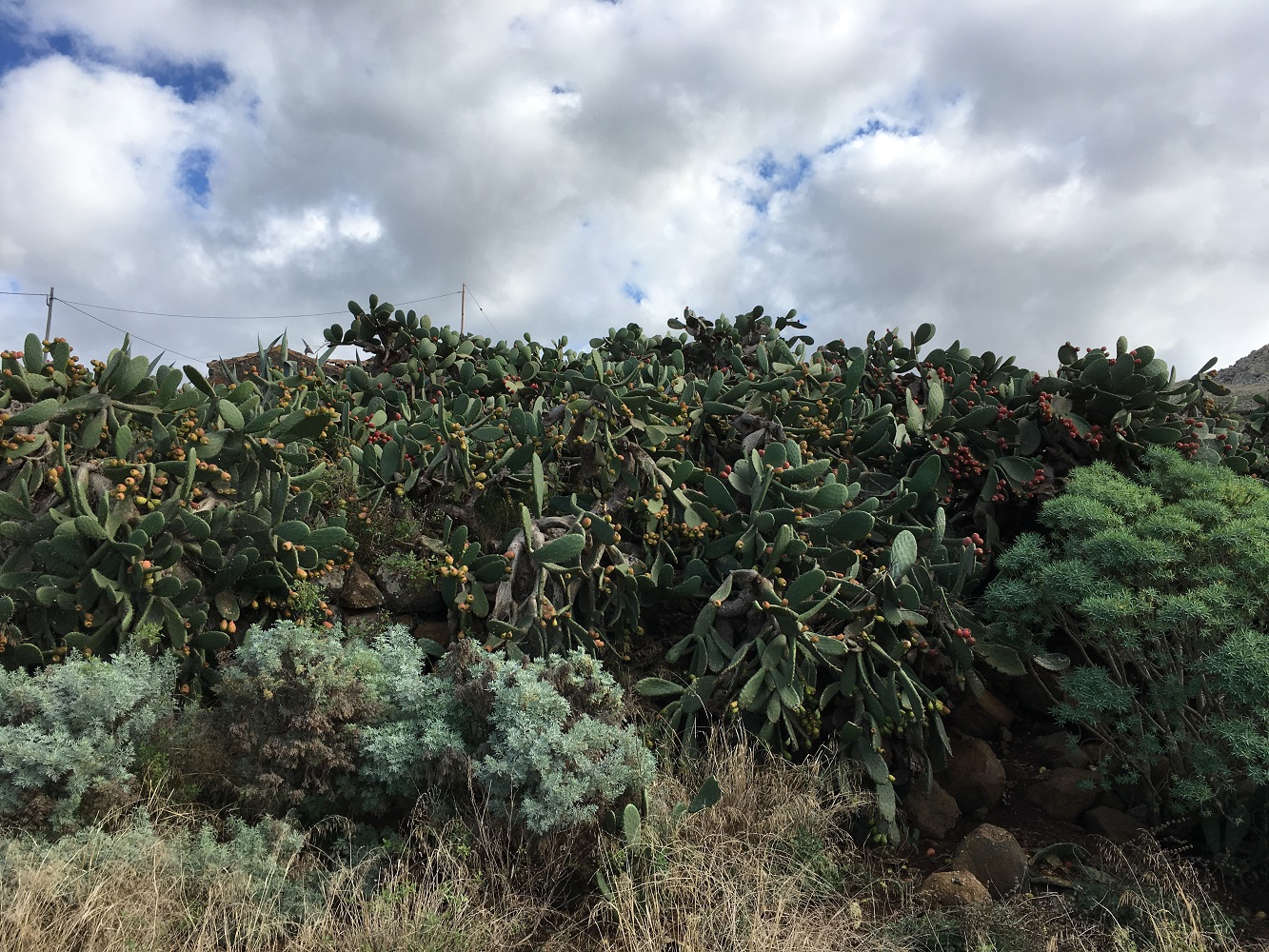 tenerife cactuses