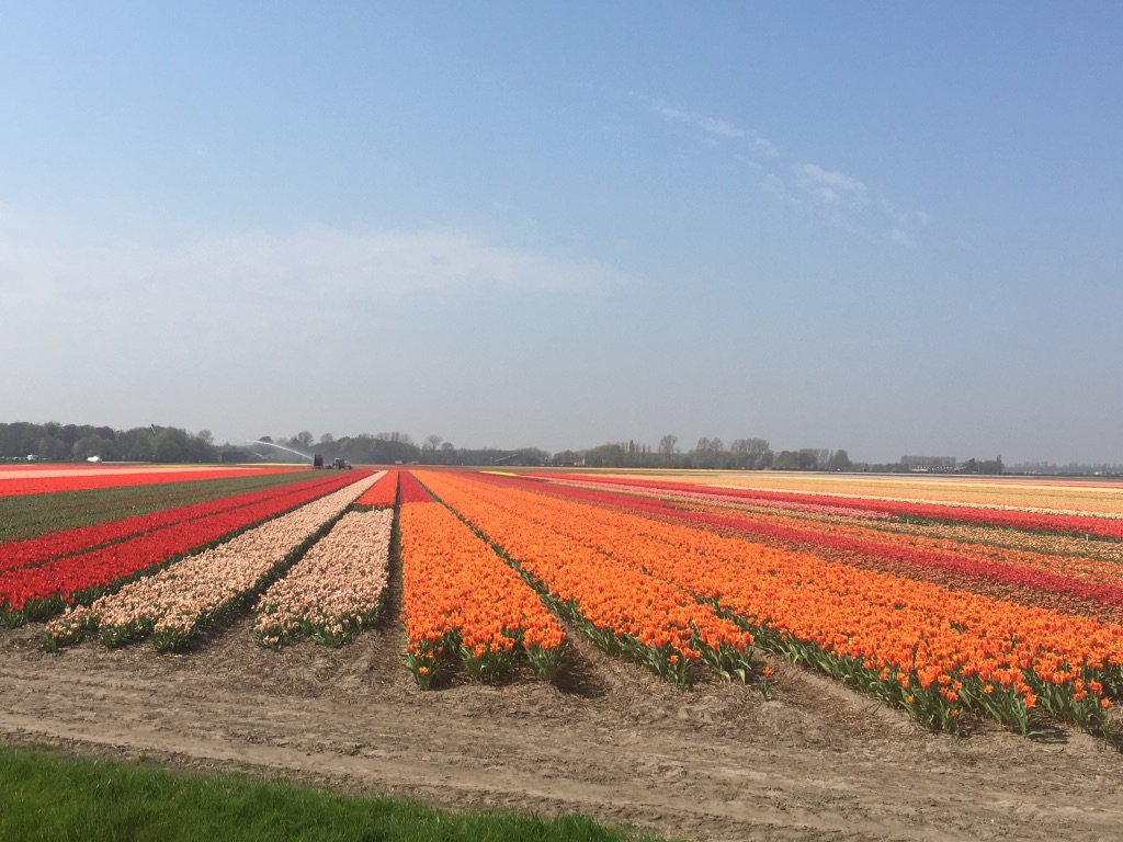 Colourful tulip fields