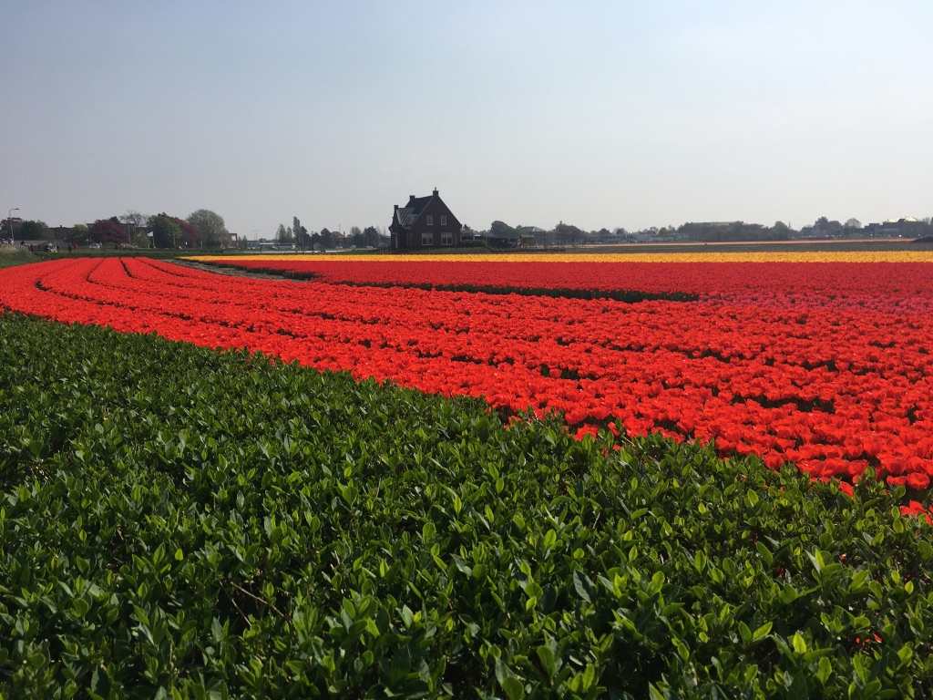House inside tulip fields