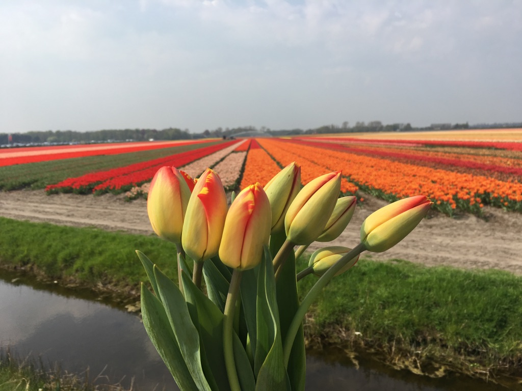 Keukenhof and tulip fields – day trip from Amsterdam